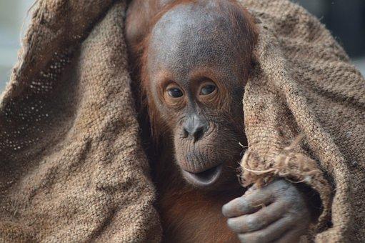 orangutan dubai party people energy drink sip drinking car party viral video